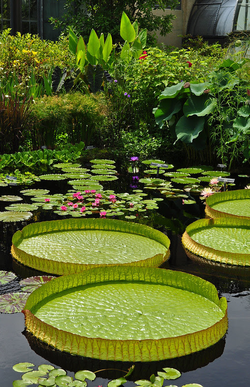 Conservatory - Waterlily Display - Victoria