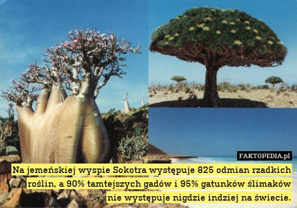 Na jemeńskiej wyspie Sokotra występuje – Na jemeńskiej wyspie Sokotra występuje 825 odmian rzadkich roślin, a 90% tamtejszych gadów i 95% gatunków ślimaków nie występuje nigdzie indziej na świecie.
