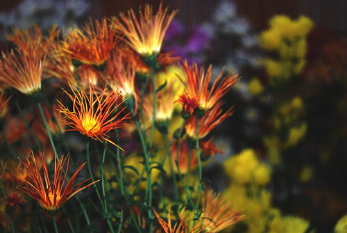 fancy chrysanthemum (fire)