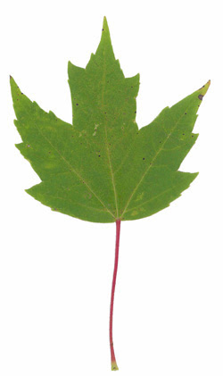 Red Maple Leaf Poisoning Of Horses