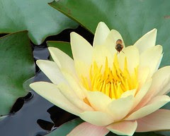 Bee over waterlily