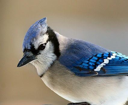 Blue Jay Celebrate Urban Birds