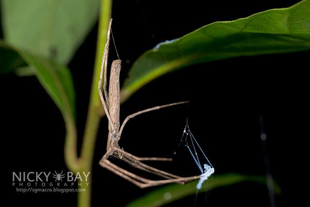 Net-Casting Spider (Deinopis sp.) - DSC_2137