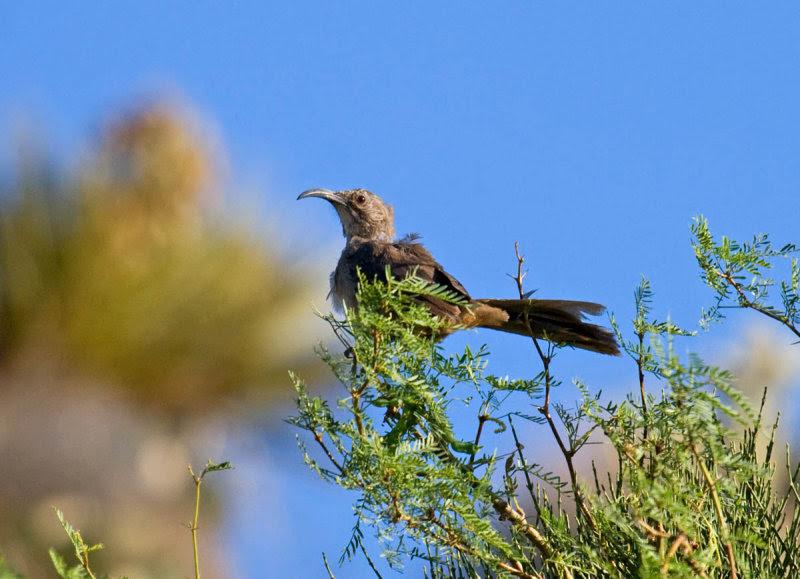 California Thrasher in mesquite