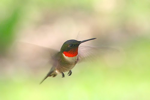 Ruby-throated Hummingbird por Geek in the garden
