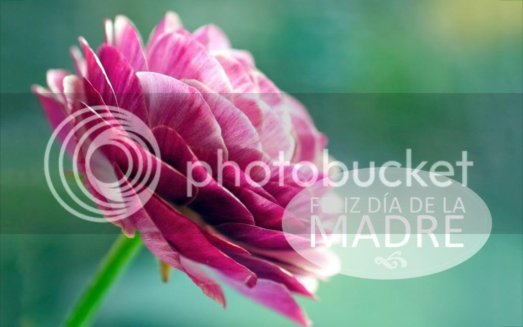 photo 8869725-asian-buttercup-flower_zps2abdda74.jpg
