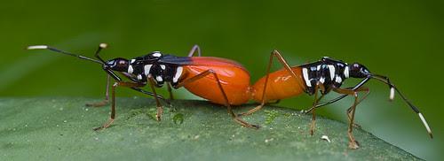 Pentatomidae bugs mating IMG_2364 merged copy