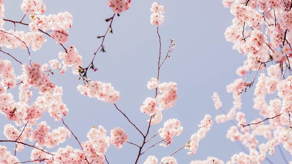 30 Anime Cherry Blossom Wallpaper Iphone Sachi Wallpaper