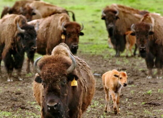 This file photograph shows a herd of buffalo at George adn Gerry Mesick's farm on June 10, 2004, at Gem Farms in Schodack, N.Y. The Mesicks raise and sell bison meat. Mesick on Friday said he fears buffalo that escaped from his farm on Thursday might be the animals police are trying to find in Bethlehem. (Cindy Schultz / Times Union)