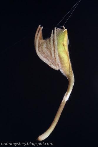 IMG_8811 copy Cyphalonotus sp. spider