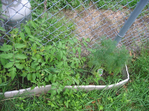 Dill and tomato plants
