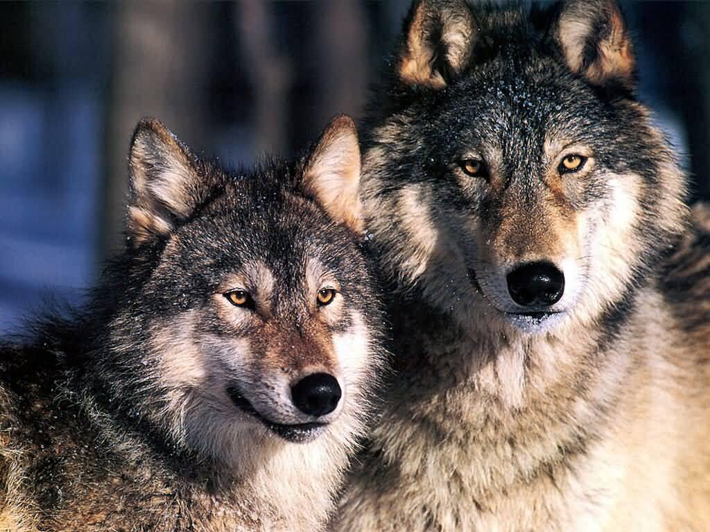 Επιθέσεις λύκων στην Αγρελιά Τρικάλων