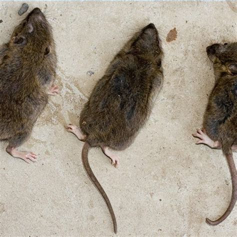 How To Get Rid Of Outside Rats   The Best Rat Of 2018