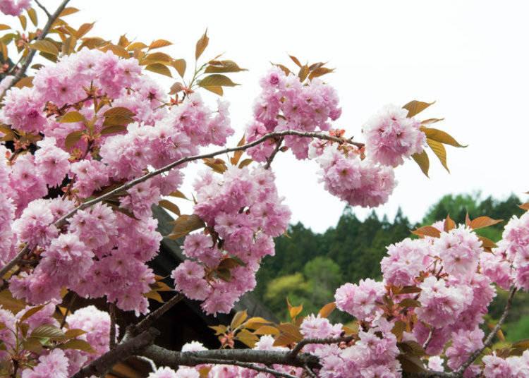 1000 Gambar Bunga Sakura Yg Besar  Terbaik
