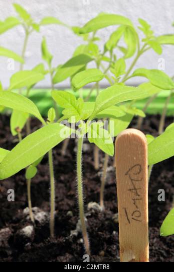 Tomato Plant Label