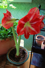 'Hermitage' hybrid amaryllis