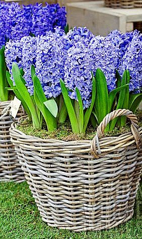 Blue hyacinth in rattan baskets...plant bulbs in the fall for spring bloom