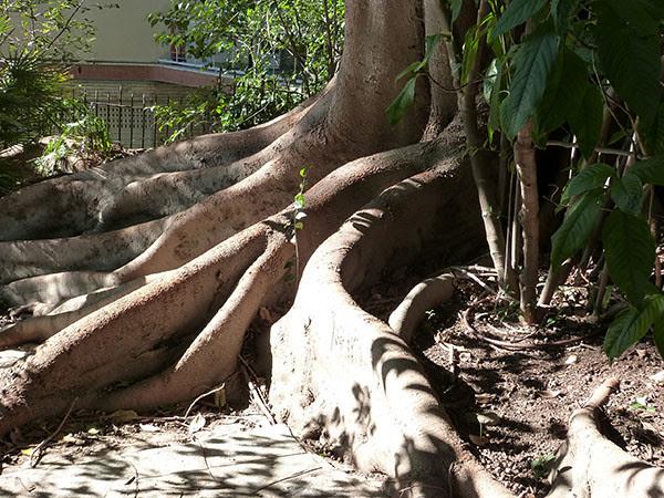 racines de ficus