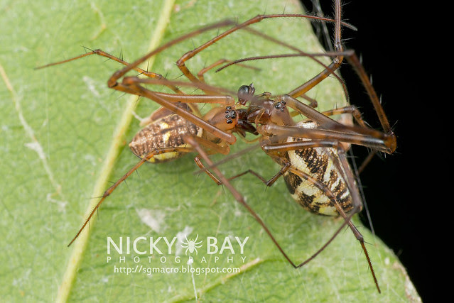 Big-Jawed Spiders (Tetragnathidae) - DSC_7225
