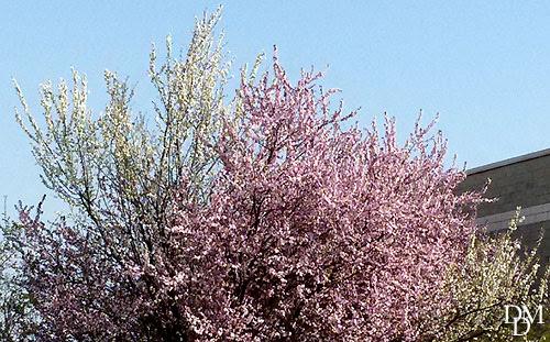 Primavera Fioriscono Gli Alberi Bicolori Fiori E Foglie