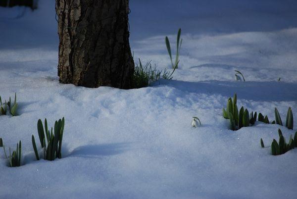 Snow Shoots