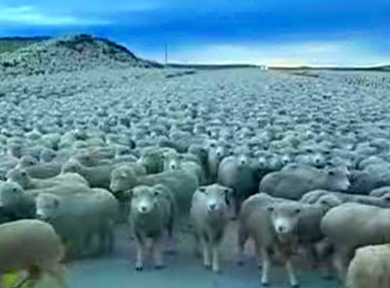 sheepinroad.jpg