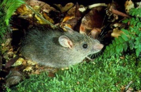 Bush Rat   Australian Museum