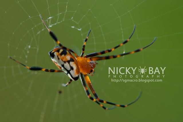 Pear-Shaped Leucauge (Opadometa sp.) - DSC_4489