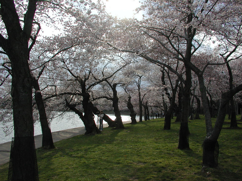 Blooming Cherry Blossom Trees, Washington DC