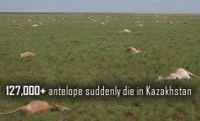 Dead Antelope in Kazakhstan