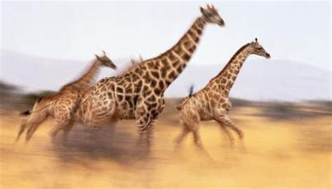 How Long Can a Giraffe Run?   Animals   mom.me