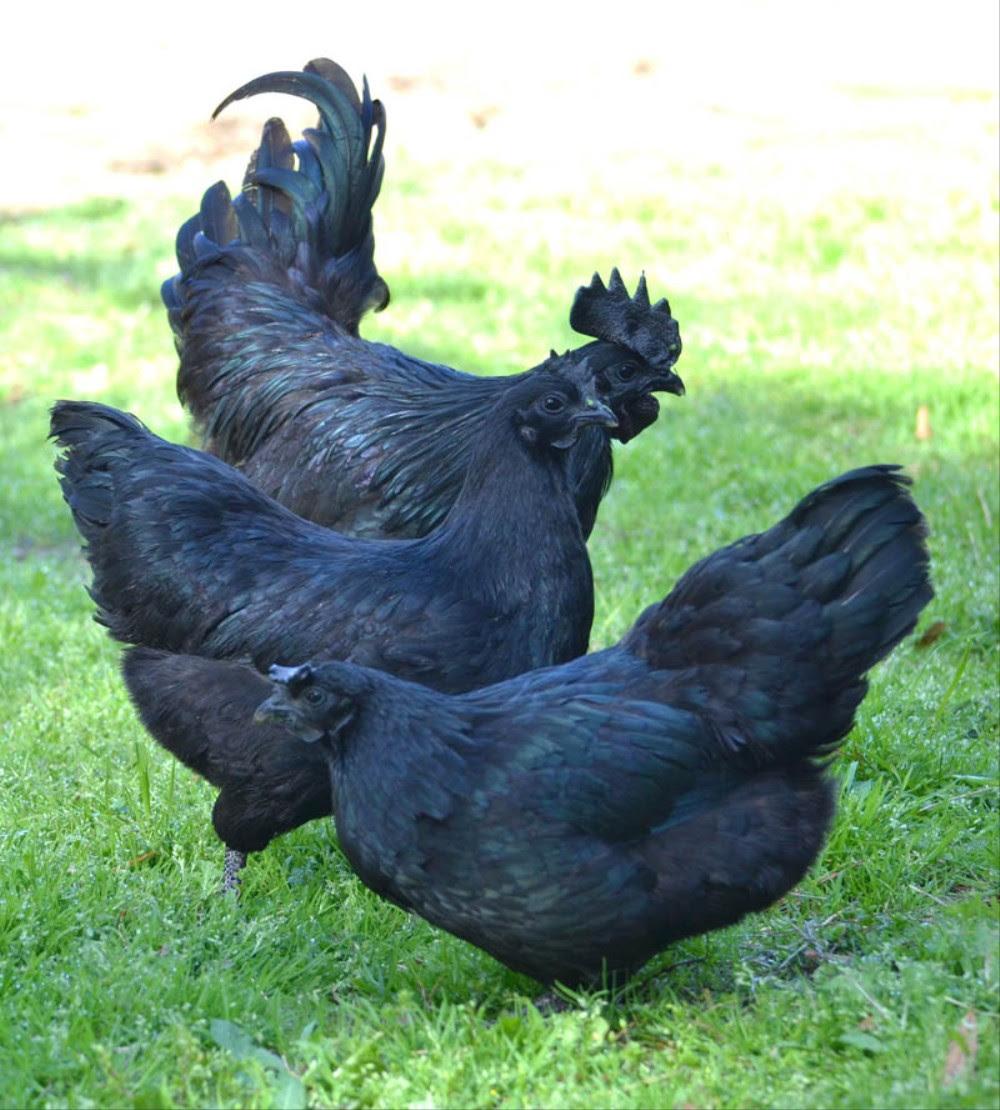 chickens Ayam Cemani