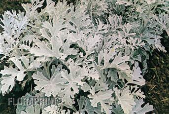 Fernlea Flowers Ltd Annuals Dusty Miller