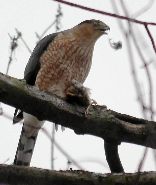 Ed Gaillard: recent &emdash; Cooper's Hawk eating a sparrow