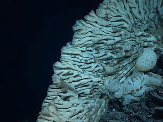 Foto de 12 de Agosto de 2015 mostra esponja fotografada a 7 mil pés no Monumento Nacional Marinho Papahanaumokuakea, no Havaí (Foto: NOAA Office of Exploration and Research/Hohonu Moana 2015 via AP)
