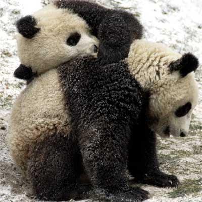 Dos osos pandas en un centro de investigación en Wolong, al suroeste de China