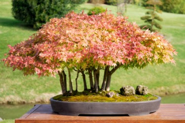 A red maple bonsai.