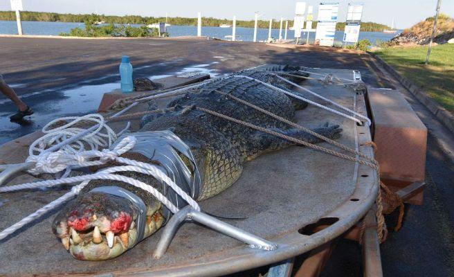 Resultado de imagen para Capturan a un cocodrilo de 600 kilos y casi 5 metros tras una cacería de 8 años