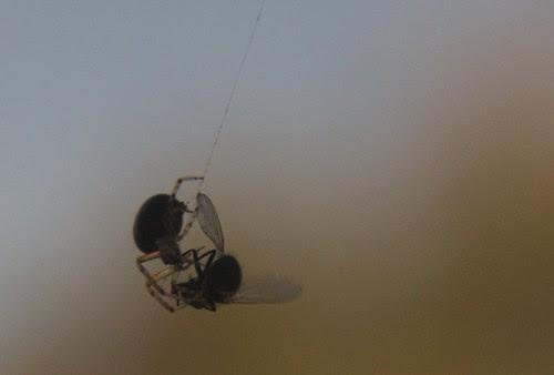 tarzan spider meets fly