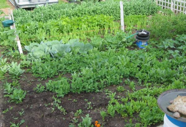 Asociación de hierbas aromáticas con verduras y hortalizas