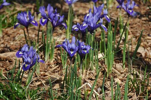 Iris reticulata, South Cove Park