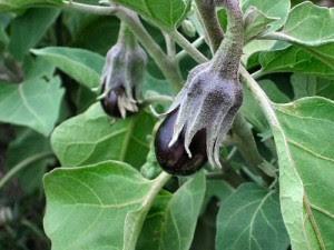 Плоды баклажана