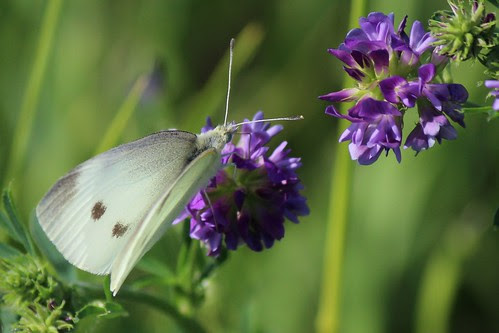 IMG_0244_White_Butterfly_on_Purple_Flower