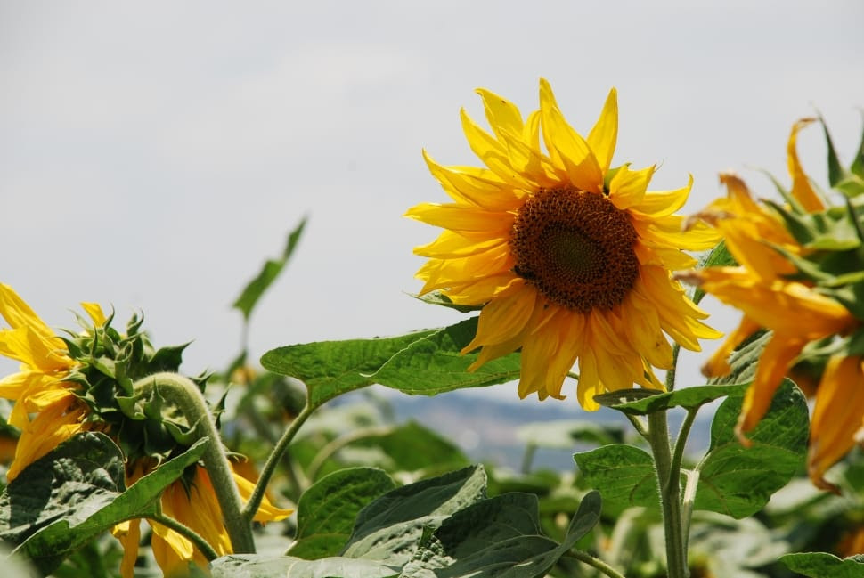 yellow and brown sunflower free image   Peakpx