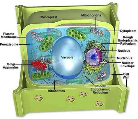 kumpulan gambar sel hewan  sel tumbuhan mahpudeen blog