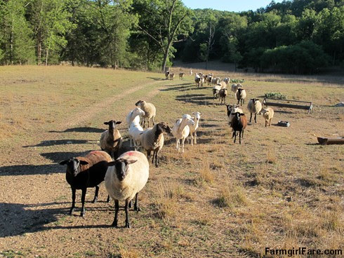 (22-1) Hopeful flock, led by Cary, looking for treats in the front field - FarmgirlFare.com