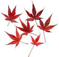 Herbstfärbung von Acer palmatum Fächer-Ahorn