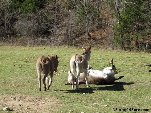 Rolling donkeys (1) - FarmgirlFare.com
