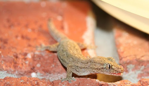 cropped gecko