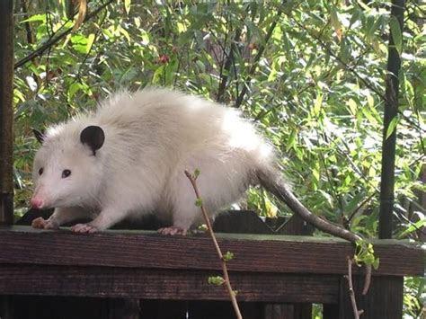 Image Gallery rat opossum